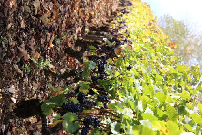 Domaine-Pierre-Martin—Vignes