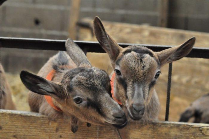 Les chèvres de la Brissauderie